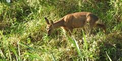 Roe deer youngster (Poppy1385) Tags: roe deer