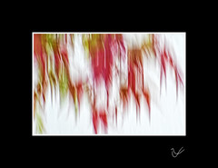 Rainy Days (After-the-Rain) Tags: acer rainyday rain leaves autumncolour august2019 gcgarden cumbria icm intentionalcameramovement