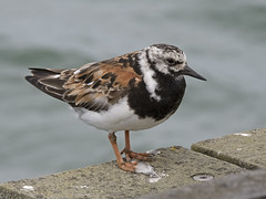 Turnstone (JaneTurner68) Tags: turnstone wader bird summerplumage plumage moulting southendpier southendonsea southend essex canonsx70 canon