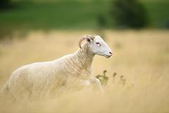 I am not a sheep, I lead my flock (Paul wrights reserved) Tags: sheep running run animal animals animalantics animalportrait bokeh jumping speed fast action