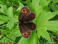 Butterfly (FritzZFG) Tags: butterfly mariposa farfalla papillon paruparo 나비 vlinder borboleta alibangbang