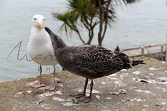 2012-08-15_.jpg (Quiki) Tags: californischemeeuwlarusoccidentalis californië alcatraz usa landen sanfrancisco dieren vogel california verenigdestaten