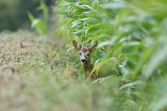 Jeune brocard (José Le Flem) Tags: chevreuil deer roe photographieanimalière photographie hunting chasse brocard