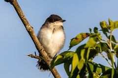 1B4A6514 (HavToNo) Tags: bird easternkingbird