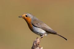 Robin (robin elliott photography) Tags: robin erithacusrubecula bird birds nature outdoors nikon nikond850 nikon20050056 wild wildlife feathers