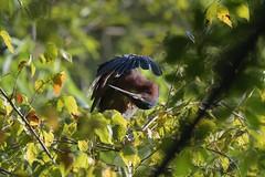 Green Heron inspecting its wing (adirondack_native) Tags: green heron inspecting wing tree limb beak
