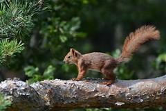 Squirrel (EvenHarbo) Tags: nikond7100 nikon norge norway larvik vestfold skog forest animal squirrel ekorm nature