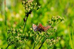 3 Countries (ajne1974) Tags: feldberg badenwürttemberg deutschland schwarzwald schmetterlinge insekten