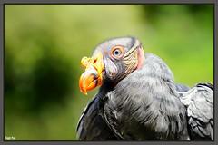 Königsgeier (tingel79) Tags: animal tiere vogel greifvogel schnabel gefieder natur nature tierpark berlin gehege portrait animaleye