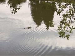 230/365/8 (f l a m i n g o) Tags: 365days project365 sunday 2019 11th august arvada babies duckling pond ducks