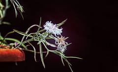 Piccola luce (Pepenera) Tags: fiore flower fleur flowers flor fotografia canon eos stilllife