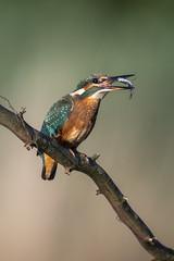 Martin pêcheur (Alcedo atthis) Kingfisher (Denis.R) Tags: martinpêcheur alcedoatthis kingfisher bird oiseau libre sauvage france lorraine moselle sony sony200600g sony200600mmf5663ossfe a7riii a7r3 alpha7riii denisr denisrebadj wwwdenisrebadjcom