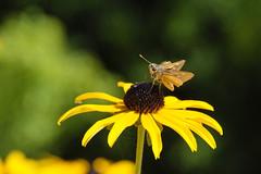 Tawny-edge Skipper On A Black-eyed Susan - Sunny (Modkuse) Tags: art nature natural artistic provia nopostprocessing artisticphotography artphotography fujiprovia xt2proviasimulation fujifilmxt2provia fujifilmxt2proviasimulation flower butterfly insect fineart fujifilm creature photoart fujinon blackeyedsusan fineartphotography xt2 tawnyedgeskipper fujinonxf55200mmf3548rlmois xf55200mmf3548rlmois fujifilmxt2 bokeh creamybokeh