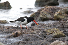 Eurasian oystercatcher (Picturavis) Tags: fehmarn strand vogel bird germany picturavis animal tier katharinenhof deutschland austernfischer beach haematopusostralegus eurasianoystercatcher