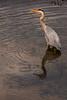 Grey Heron at Newport-On-Tay