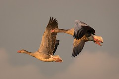 Greylag in flight (bholmbom81) Tags: two sky birds flying left greylag bjornholmbom björnholmbom