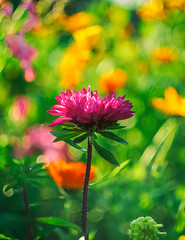Astra (Alexx053) Tags: flower astra bokeh helios442 garden