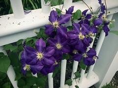 One & Many (77ahavah77) Tags: purple blooms flowers maine