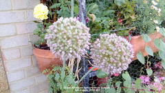 Giant Allium on balcony from outside 9th August 2019 001 (D@viD_2.011) Tags: giant allium balcony from outside 9th august 2019