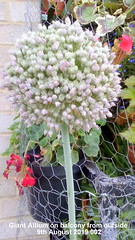Giant Allium on balcony from outside 9th August 2019 002 (D@viD_2.011) Tags: giant allium balcony from outside 9th august 2019