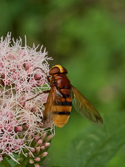 Volucelle zonée (volucella zonaria) femelle (pierre.pruvot2) Tags: arthropodes garden guînes hautsdefrance insectes jardin lumixg9 macro olympus60mmmacro panasonic