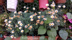 Marguerite seen from outside of balcony 9th August 2019 001 (D@viD_2.011) Tags: marguerite seen from outside balcony 9th august 2019