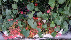 Geranium 'Vancouver Centennial' seen from outside of balcony 9th August 2019 (D@viD_2.011) Tags: geranium vancouver centennial seen from outside balcony 9th august 2019