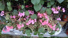 Geranium (Green & white) seen from outside of balcony 9th August 2019 (D@viD_2.011) Tags: geranium green white seen from outside balcony 9th august 2019