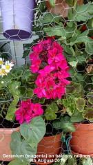 Geranium (magenta) on balcony railings 9th August 2019 (D@viD_2.011) Tags: geranium magenta balcony railings 9th august 2019