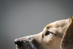 Annabel Lee #fotoreto17 (hernanguillermoparedes) Tags: perro dog portrait retrato d5300 nikon