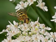 Syrphe du groseillier (syrphus ribesii) (pierre.pruvot2) Tags: arthropodes garden guînes hautsdefrance insectes jardin lumixg9 macro olympus60mmmacro panasonic