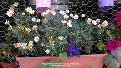 Marguerite seen from outside of balcony 9th August 2019 003 (D@viD_2.011) Tags: marguerite seen from outside balcony 9th august 2019