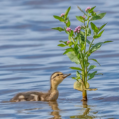 Sometimes, you have to stop and smell the flowers (Kevin E Fox) Tags: mallard chick galloway oceancounty nj newjersey edwinbforsythenationalwildliferefuge edwinbforsythe wildlifedrive bird birdwatching birding birds birdphotography sigma150600sport sigma nature nikond500 nikon