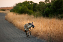 hyena - Kruger NP - South Africa (bart coessens) Tags: animals animal mammal mammals predator predators scavenger scavengers wildlife wildanimals wild hyena safari sanp sanparks southafrica southafricannationalparks southernafrica kruger krugernationalpark game gameviewing gamedrive nikon nikond800 d800 nature
