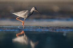 Spotted redshank (JS_71) Tags: nature wildlife nikon photography outdoor 500mm bird animal poland nikkor d500 wildbirds