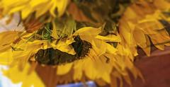 Petal Power (soniaadammurray - On & Off) Tags: digitalart art myart abstractart experimentalart visualart contemporaryart photoshop flowers beauty appreciate look nature golden sliderssunday hss 2019