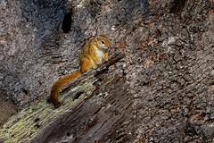 Sabi Sands, South Africa June 15, 2019 (Doug Lambert) Tags: smithsbushsquirrel treesquirrel mammal animal nature wildlife safari sabisabibushlodge kanyeziafrica sabisands southafrica africa greaterkruger canon100400ii canon7dmarkii