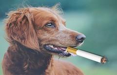 When Golden Retrievers Pause for a Smoke (ricko) Tags: dog goldenretriever smoking cigarette picsart littledoglaughedstories