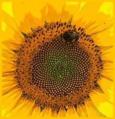 The beauty of nature. (Rudike) Tags: beeautiful smileonsaturday yellow geel sunny nature beauty zonnebloem sunflower bebusy bee