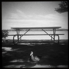 """Picnic Table (awevans4) Tags: iphone square nh newengland blackandwhite duck hipstamatic beach sq """"picnictable"""" newhampshire animal"""