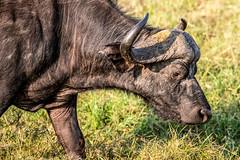 African buffalo - Syncerus caffer - Kafferbuffel (cradenborg) Tags: c 2019 africanbuffalo cceradenborg public synceruscaffer openbaar kafferbuffel masaimaranp nature wildlife mammals animals safari kenya africa