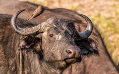 African buffalo - Syncerus caffer - Kafferbuffel (cradenborg) Tags: c cceradenborg 2019 africa africanbuffalo animals kafferbuffel kenya masaimaranp nature openbaar public safari synceruscaffer wildlife mammals