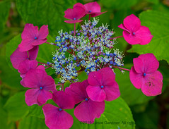 Perimeter (L@nce (ランス)) Tags: flower flowers nikon bloom outside outdoors summer blooming nikkor macro britishcolumbia micro victoria canada jamesbay leaves magenta blue