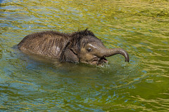 Badetag für Bền Lòng (jürgenmilnik) Tags: leipzig leipzigzoo elefanten asiatischenelefanten