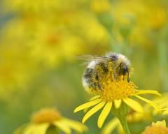 is this a heath bumblebee? (conall..) Tags: ragwort jacobaea vulgaris jacobaeavulgaris bumble bumblebee belfast bogmeadows bog meadows reserve nature westbelfast wildlifereserve wetland naturereserve closeup raynox dcr250 macro