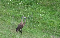 Sandhill Crane (Antigone canadensis) (Gavin Edmondstone) Tags: antigonecanadensis sandhillcrane crane bird ontario