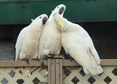 More Cocky Love (PhotosbyDi) Tags: cockatoo sulphurcrestedcockatoo bird backyardbirds australianwhitecockatoo panasoniclumix panasonixfz300 lumixfz300