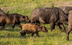 African buffalo - Syncerus caffer - Kafferbuffel (cradenborg) Tags: c 2019 africanbuffalo kafferbuffel masaimaranp cceradenborg public synceruscaffer openbaar nature wildlife mammals animals safari kenya africa