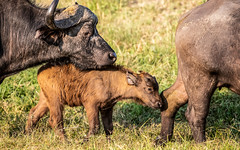 African buffalo - Syncerus caffer - Kafferbuffel (cradenborg) Tags: public c 2019 synceruscaffer africanbuffalo openbaar kafferbuffel masaimaranp cceradenborg nature wildlife mammals animals safari kenya africa