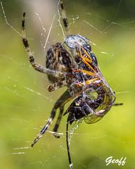 A Wrap - spider style (gwhiteway) Tags: fly spider wrap web food macro newfoundlandandlabrador canada nature m10markiii daddy longlegs